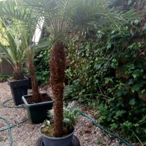 Huur palmboom  PHOENIX ROEBELENII