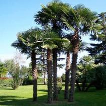 Vermietung Palm fortunei