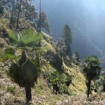 Trachycarpus Takil (Kalamuni)