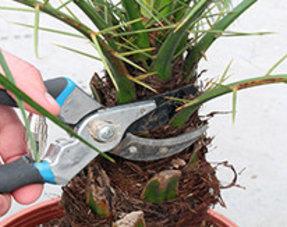 Verzorging van uw palmboom