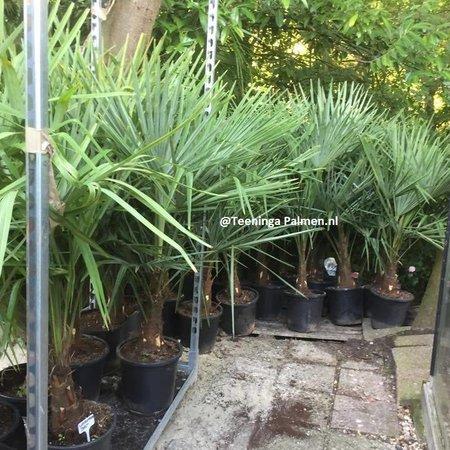 Palmen Trachycarpus Fortunei Chusan Palm, Windmill Palmtree Kopen