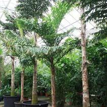 Caryota Urens Tropische Palm