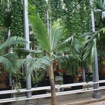 Dictyosperma Aurium