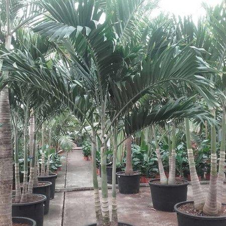 Palmen Veitchia Merrillii Kopen