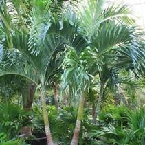 Große Größen Veitchia Merrillii