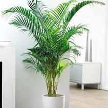Arekanische Palme
