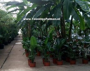 Kamer bananen planten