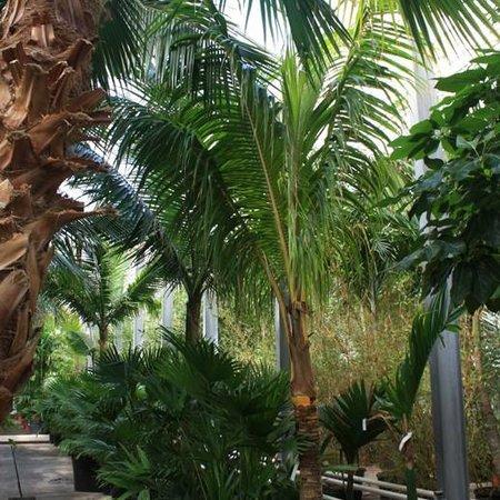 Palmen Cocos Nucifera/Kokospalm Kopen