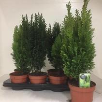 Gemengde Conifeer (Winterharde Vaste Plant)