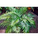 Palmen Mexicaanse Bergpalm (Chamaedorea Elegans) Kopen