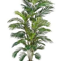 Areca Goud palmboom 180 cm hoog
