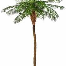 Art Palm Phoenix Röteln extra luxuriöse Ausführung nackten Stamm - 280  cm