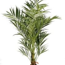 225 cm - Howea Forsteriana Kentia palm kunstplant