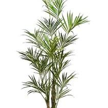 260 cm - Howea Forsteriana Kentia palm kunstplant