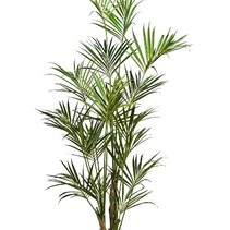 260 cm - Howea Forsteriana Kentia Palme künstliche Pflanze