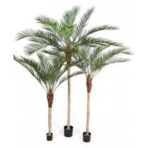 Art Palm Phoenix Röteln extra luxuriöse Ausführung nackten Stamm - 210 cm  -