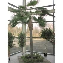 300 cm - Woestijnpalm - Washingtonia robusta kunstpalm