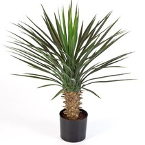 Outside Yucca Elephantipes Palm lily height 80 cm