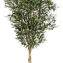 180 cm - Binnen olijfboom Kunst olea olijfboom