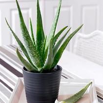 Aloevera Mitriformis - woestijn plant