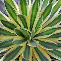 Kaufen Agave Tub-Garten und Terasplant