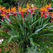 Strelitzia Paradijsvogelbloem