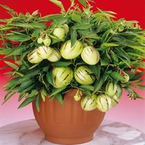 Apfelmelone 'Pepino Gold' (Solanum Muricatum) - Exotische Frucht - Organisch