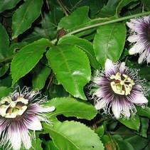Passionsfrucht-Pflanze (Passiflora Edulis Maracuja) - exotische Frucht - organisch