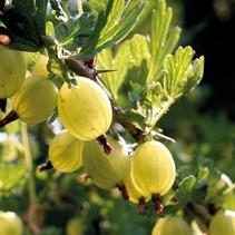 Gelbe Beere Bush (Ribes Uva-crispa) - Organisch