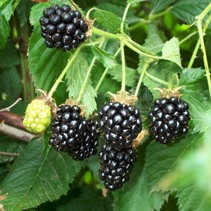 Bramenstruik (Rubus Fruticosus) - 'Thornless Evergreen' - Biologisch