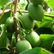 Kiwi-Pflanze issai selbstbestäubend - Exotische Frucht Bio