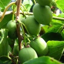 Kiwi plant issai zelfbestuivend- Exotic Fruit Biologische