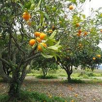 Citrusboom - Sinaasappelboom (Calamondin)