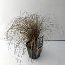 Carex Ziergras rot