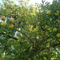 Appelboom Malus Golden Delicious Biologische