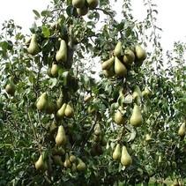 Birnenbaum (Pyrus Communis 'Doyenne du Comice') organisch
