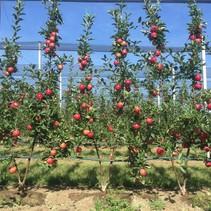Apfelbaum (Malus Gala) - Organisch