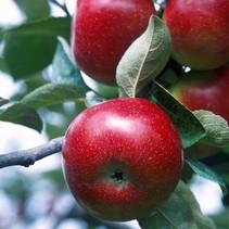 Apfelbaum (Malus Braeburn) organisch