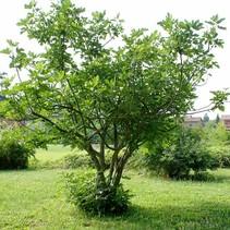 Feigenbaum (Ficus Carica) - organisch