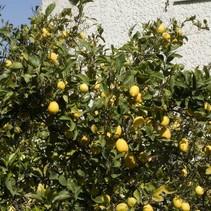 Citroenboom (Citrus Limonia) - Biologisch