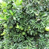 Limettenbaum (Citrus Aurantifolia) - Limette - Bio