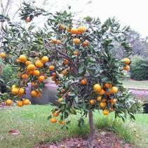 Sinaasappelboom (Citrus Mitis) - 'Calamondin' - Biologisch