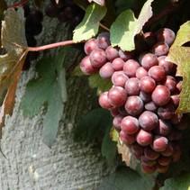 Rote Traubenpflanze (Vitis Vinifera) - Bio