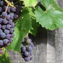 Blauwe Druiven Plant (Vitis Vinifera) -  Biologisch