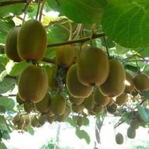Kiwi plant - Actinidia deliciosa 'Jenny' Biologische