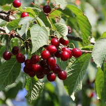 Kersenplant - Prunus avium 'Helena' Biologische