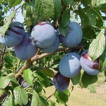 Wilde Pflaume - Prunus jap. 'Schwarzer Amber' Bio