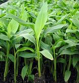 Bananen plants Musa Basjoo - Japanse Vezelbanaan - Bananenplant  - Biologisch Kopen