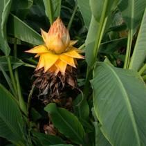 Chinese lotus banana - Musella lasiocarpa