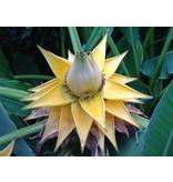 Bananen plants Chinese lotusbanaan - Musella lasiocarpa